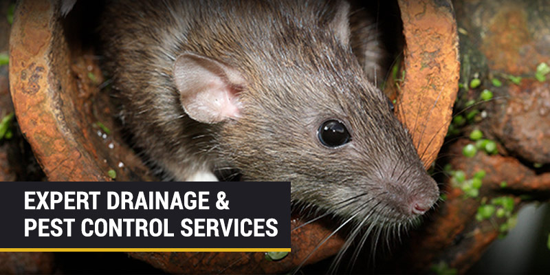 rats in drains pest control services