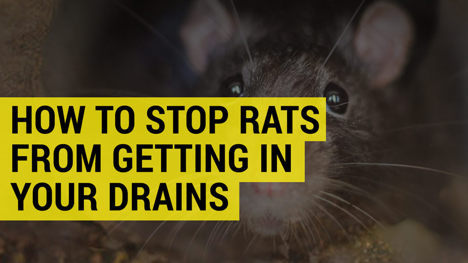 stop rats getting in your drains